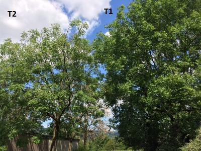 ASh dieback stages 1 and 2